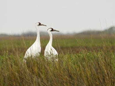https://imgc.artprintimages.com/img/print/a-pair-of-whooping-cranes-in-wintering-grounds_u-l-phua000.jpg?p=0