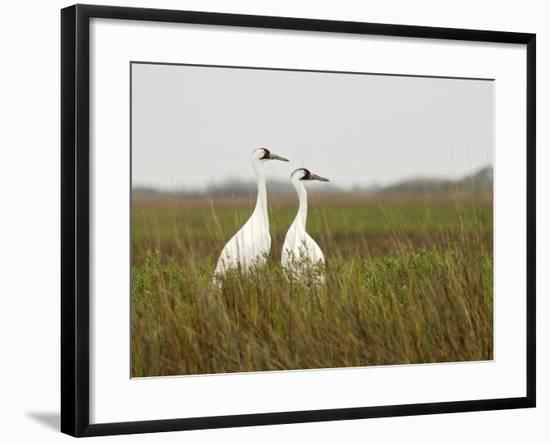 A Pair of Whooping Cranes in Wintering Grounds-Klaus Nigge-Framed Photographic Print