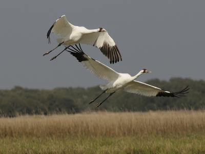 A Pair of Whooping Cranes Taking Off from Wintering Grounds-Klaus Nigge-Photographic Print