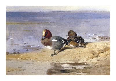 A Pair of Wigeon-Archibald Thorburn-Premium Giclee Print