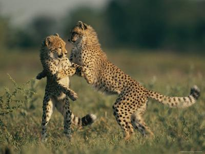 A Pair of Young African Cheetahs Engage in a Playfight-Chris Johns-Photographic Print