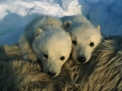A Pair of Young Polar Bear Cubs-Norbert Rosing-Photographic Print