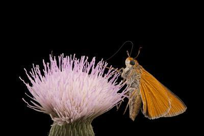 https://imgc.artprintimages.com/img/print/a-palmetto-skipper-butterfly-euphyes-arpa-at-kissimmee-prairie-preserve-state-park_u-l-pokbgh0.jpg?p=0