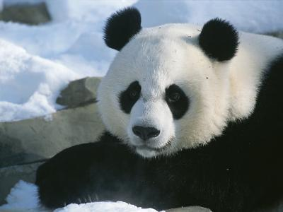 A Panda at the National Zoo in Washington, Dc-Taylor S^ Kennedy-Photographic Print