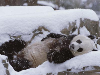 A Panda in the Snow at the National Zoo in Washington, Dc-Taylor S^ Kennedy-Photographic Print