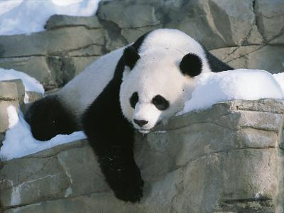 A Panda Rests in the Snow at the National Zoo in Washington, Dc-Taylor S^ Kennedy-Photographic Print