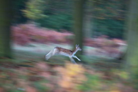 A Panned View of a Fallow Deer, Dama Dama, Running and Jumping Among Trees-Alex Saberi-Photographic Print