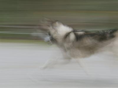A Panned View of a Sled Dog Running-Rich Reid-Photographic Print