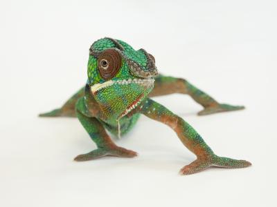 A Panther Chameleon, Furcifer Pardalis-Joel Sartore-Photographic Print