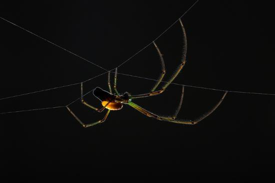 A Parasitoid Wasp Catches and Paralyzes a Spider, Then Lays its Egg on the Spider's Abdomen-Anand Varma-Photographic Print