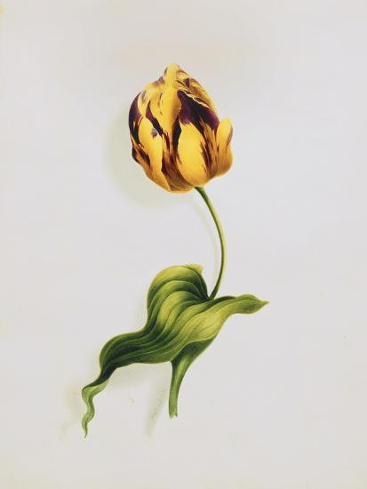 A Parrot Tulip-James		 Holland-Giclee Print