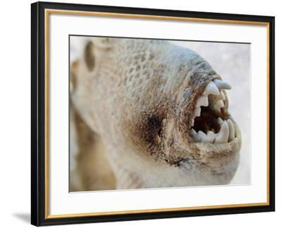 A Part of a Dried and Shriveled Fish on a Beach-Michael Melford-Framed Photographic Print