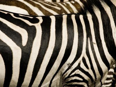 https://imgc.artprintimages.com/img/print/a-pattern-of-stripes-on-a-burchell-s-zebra-kenya_u-l-q10t4pp0.jpg?p=0