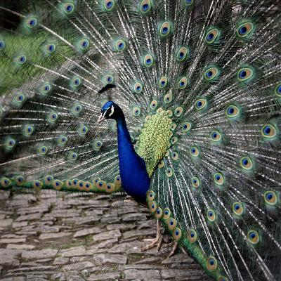 A Peacock at Tapely Park in Devon, May 1981--Photographic Print