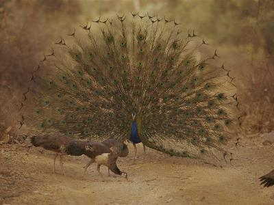 A Peacock Displays to a Group of Peahens-Jason Edwards-Photographic Print