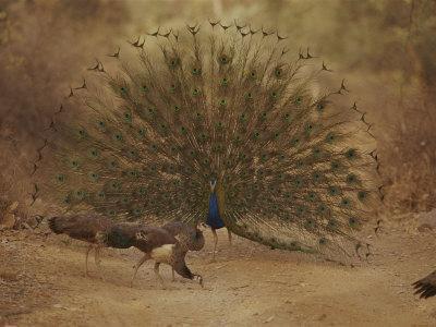 https://imgc.artprintimages.com/img/print/a-peacock-displays-to-a-group-of-peahens_u-l-p4e7rw0.jpg?p=0
