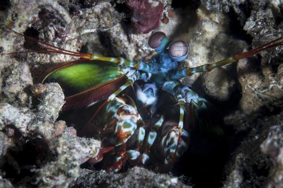 A Peacock Mantis Shrimp in Lembeh Strait, Indonesia-Stocktrek Images-Photographic Print