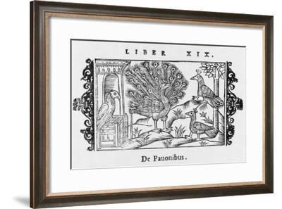 A Peacock (Pavo Cristatus) in 16Th-Century Scandinavia--Framed Giclee Print