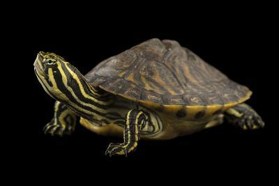 A Peninsula Cooter at the National Mississippi River Museum and Aquarium in Dubuque, Iowa-Joel Sartore-Photographic Print