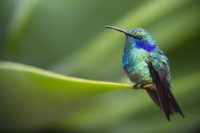 A Perching Green Violet Ear Hummingbird-Roy Toft-Photographic Print