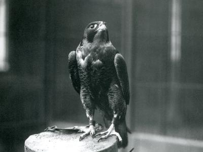 A Peregrine Falcon at London Zoo, January 1922-Frederick William Bond-Photographic Print