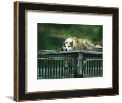 A Pet Dog Resting on a Pier-Klaus Nigge-Framed Photographic Print
