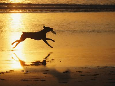 A Pet Dog Runs with a Frisbee on a Beach-Bill Curtsinger-Photographic Print