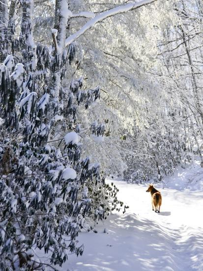 A Pet Dog Walking Up a Snow-Covered Road-Amy & Al White & Petteway-Photographic Print