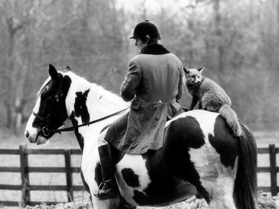 A Pet Fox Sits on the Horse of Its Owner--Photographic Print