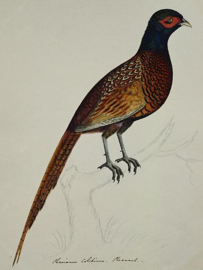 A Pheasant (Phasianus Colchicus)-Christopher Atkinson-Giclee Print