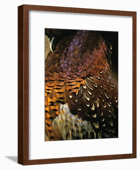 A Pheasant with Colourful Feathers-Nicolas Leser-Framed Photographic Print
