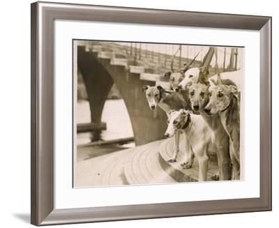 A Photograph of Six Greyhounds, Mainly their Heads, Taken at Wembley Stadium--Framed Photographic Print