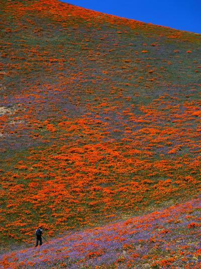 A Photographer Surrounded by California Poppies in the Hills of Gorman, California, USA-Jan Stromme-Photographic Print