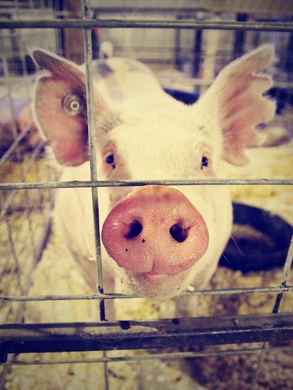 A Pig at a Local Fair-graphicphoto-Photographic Print