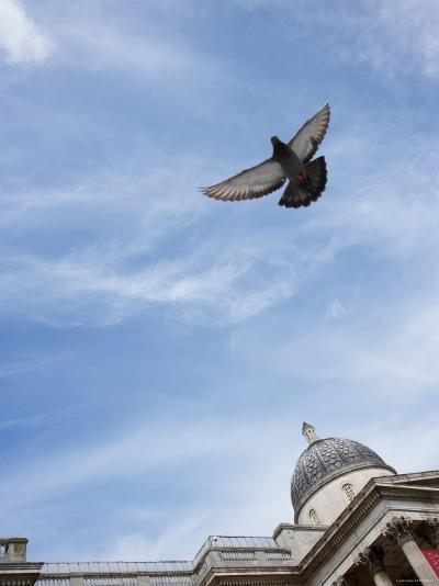 a Pigeon Flying Near St. Paul's Cathedral in London, England--Photographic Print