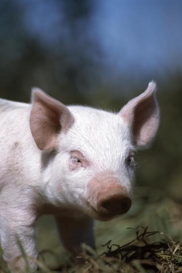 A Piglet Enjoying Sun and Fresh Air at an Organic Farm-Macduff Everton-Photographic Print