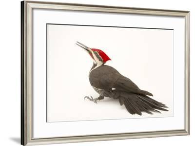 A Pileated Woodpecker, Dryocopus Pileatus.-Joel Sartore-Framed Photographic Print