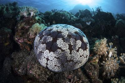 A Pin Cushion Starfish Clings to a Coral Reef-Stocktrek Images-Photographic Print