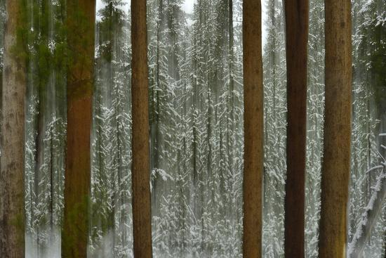 A Pine Forest in Yellowstone National Park-Raul Touzon-Photographic Print