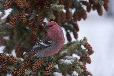 A Pine Grosbeak Perches on a Tree Branch-Michael Quinton-Photographic Print