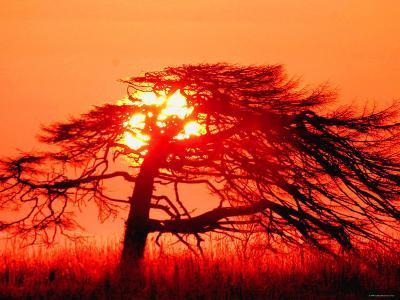 A Pine Tree and Sunrise--Photographic Print