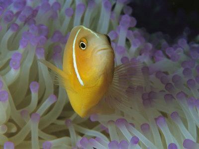https://imgc.artprintimages.com/img/print/a-pink-anemonefish-nestles-among-sea-anemone-tentacles_u-l-p3rs070.jpg?p=0