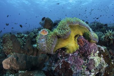 A Pink Anemonefish Swims Near its Host Anemone-Stocktrek Images-Photographic Print