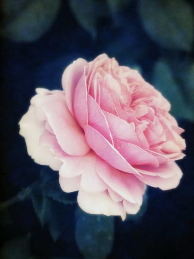 A Pink Blooming Garden Rose-Alaya Gadeh-Photographic Print
