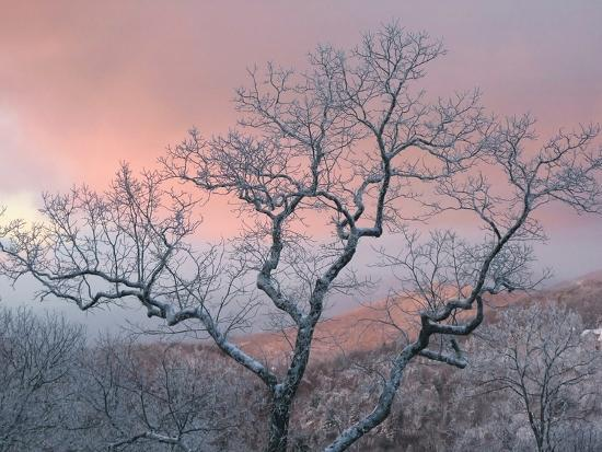 A Pink Dawn and Frosty Trees in the Blue Ridge Mountains-Amy & Al White & Petteway-Photographic Print