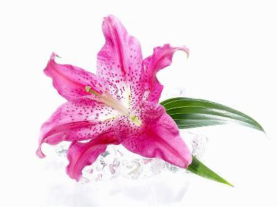 A Pink Lilly--Photographic Print