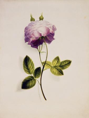 https://imgc.artprintimages.com/img/print/a-pink-rose_u-l-pms5020.jpg?p=0