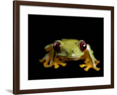 A Pink-Sided Treefrog, Agalychnis Litodryas-Joel Sartore-Framed Photographic Print