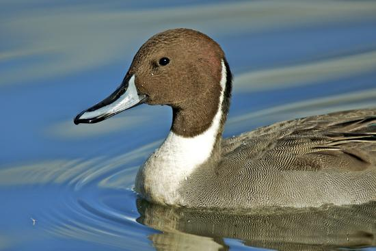 A Pintail Duck, Wide Geographic Distribution in Northern Latitudes-Richard Wright-Photographic Print