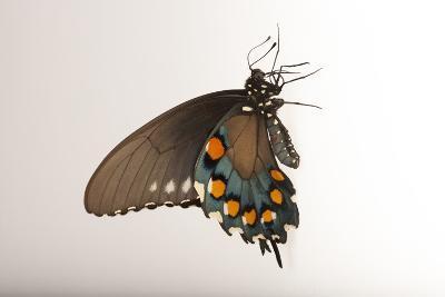 A Pipevine Swallowtail, Battus Philenor, a Native to Nebraska, at the Lincoln Children's Zoo-Joel Sartore-Photographic Print